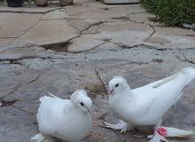 طيور فضيات للبيع