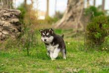 husky puppy.  هاسكي