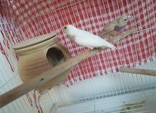 Gouldian Finches( rare mutation)