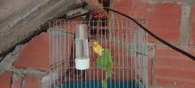 طيور الكناري مشاء الله