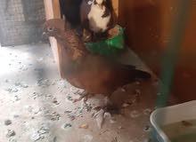 حيوانات حمام زينه