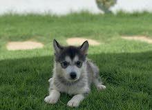 كلب هاسكي صغير