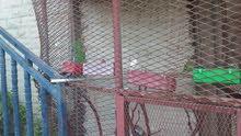 عصافير البركديلو  روز درجة اولى 7عصافير عمر  4شهور6شهور7شهور  بون اخضر