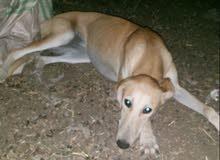 كلبه سلوقي العمر 8 الشهر مطلوبه 120