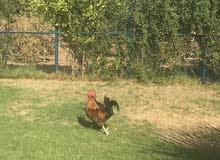 12 دجاجه بياضه بالإضافة إلى 2 ديك