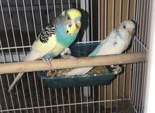 طيور منتجة