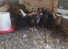 للبيع دجاج عمانيات عمر 3 ونص ب1500