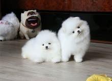 Sweet Home Raised Pomeranian Puppies