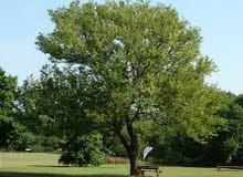اشجار زيتون للبيع عمر الشجره 25 سنة
