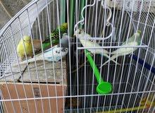 طيور حب للبيع اقره الوصف