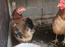 8 دجاجات و ديج