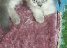 قطة هملايا بلو