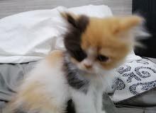 قط صغير ذكر عمره شهرين