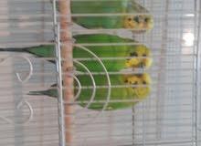 بيعة سريعة طيور الحب حجم منتج ذكرين وانثى حامية