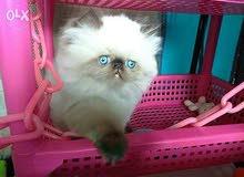 قطط هيمالايا بيكي فيس