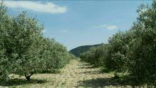 مزرعة زيتون جنوب ام قيس