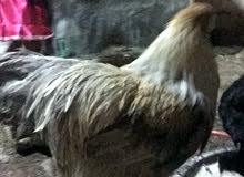دجاج إبراهيمي