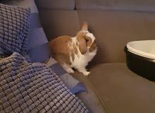ارانب هولندي انتي