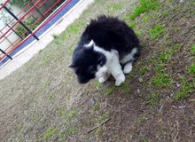 قطة فارسية للبيع