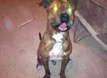 كلب دكر بيتبول تايقر عمره 4اشهور