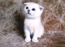 Scotch Fold Kitten Pure-White