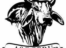 أبقار وعجول مستوردة مع تحاليل و وجواز سفر