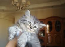 قطة تايجر للبيع
