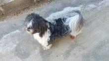 كلبة شيتزو انثى  عمرها سنتين ونصف محصنة