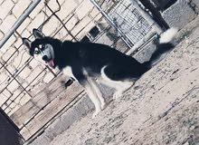 كلاب ها سكي للبيع عمره سنه 0924923278
