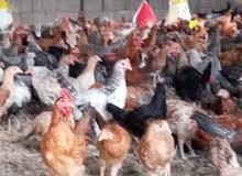 دجاج بلدى بشاير للبيع