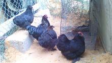 دجاج استرالي للبيع
