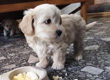 جراء تيرير مكس Terrier mix للبيع