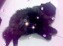 قطة شرازي/بيرسيان