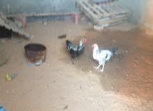 ديك ومعه 2 دجاجات عربيه للبيع