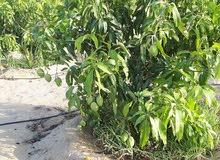 اراضى زراعية للبيع الاسماعيلية مزارع مانجو للبيع مثمرة بالاسماعيلية