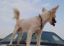 كلب لولي فوكس للبيع المستعجل ذكر العمر 4 أشهر معاهو جميع ملحقاته (قفص-صدريه -مشط