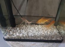 3 أسماك مع الحوض جديد