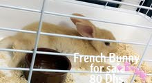 French Bunny for sale(2 months)