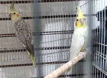 Cocktail breeding pair