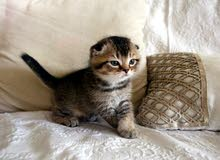 Scottish fold kitten  / قط صغير سكوتيش فولد
