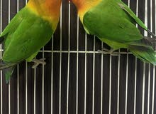 Love Birds Looking for New Home