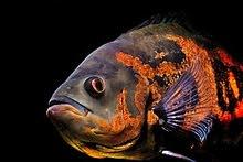 زوج من سمك الأوسكار