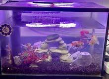 aquarium for sale with three golden fish