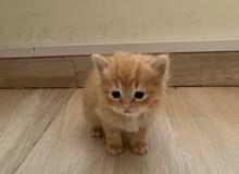قطط شيرازيه العمر شهر و أسبوع السعر 50 ريال للحبه
