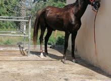 حصان مهجن