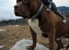 مطلوب كلب بيتبول أمريكي جرو