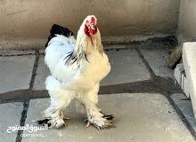 اريد افراخ او فروج دجاج براهما للبيع