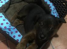 baby german shepherd for sale  45 days