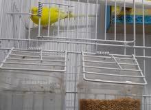 طيور حب هولندي