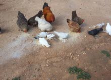 مطلوب دجاج عربي للبيع العدد 100او اكتر